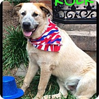 Great Pyrenees/Golden Retriever Mix Dog for adoption in Maumelle, Arkansas - Rocky (Rock) - Foster / 2016