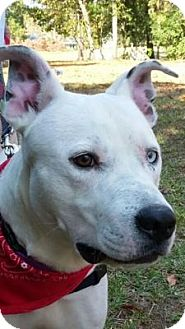 Dalmatian/Cattle Dog Mix Dog for adoption in Tampa, Florida - Logan
