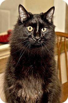 Domestic Mediumhair Kitten for adoption in Cashiers, North Carolina - Mikey