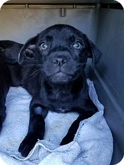 Pit Bull Terrier Mix Puppy for adoption in Gainesville, Florida - Courtney