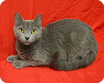 Domestic Shorthair Cat for adoption in Springfield, Illinois - Candy