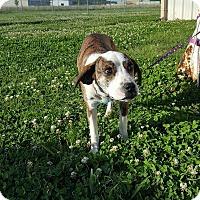 Adopt A Pet :: Susie Q in Ct - Manchester, CT