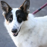 Collie Mix Dog for adoption in Canoga Park, California - Snapple