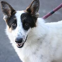 Adopt A Pet :: Snapple - Canoga Park, CA