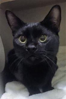 Domestic Shorthair/Domestic Shorthair Mix Cat for adoption in St. Thomas, Virgin Islands - SMOKEY