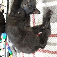 Domestic Mediumhair Kitten for adoption in Richmond, California - Loki