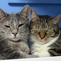 Domestic Shorthair Cat for adoption in Atlanta, Georgia - Bella 8564