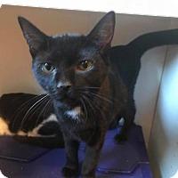 Adopt A Pet :: Kitten - Hulk - Napa, CA