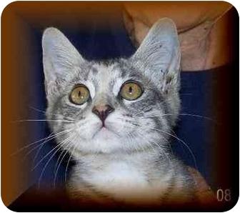 Domestic Shorthair Kitten for adoption in Yorba Linda, California - Newno