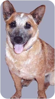 Australian Cattle Dog Mix Dog for adoption in Grass Valley, California - Blaze