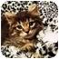Photo 4 - Domestic Longhair Cat for adoption in Spencer, New York - Zephyr