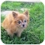 Photo 2 - Chihuahua Mix Dog for adoption in Ile-Perrot, Quebec - FUEGO