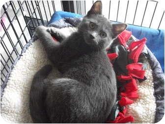 Domestic Shorthair Kitten for adoption in Edwardsville, Illinois - Hermes