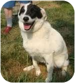 Border Collie/Beagle Mix Dog for adoption in Portland, Maine - Kipper is in New England!