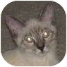 Siamese Cat for adoption in Atlanta, Georgia - Chai
