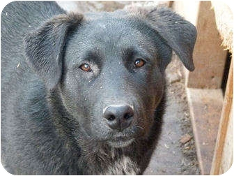 Labrador Retriever Mix Puppy for adoption in Merritt, British Columbia - Darby