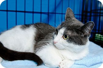 Domestic Shorthair Cat for adoption in Gaithersburg, Maryland - Latte