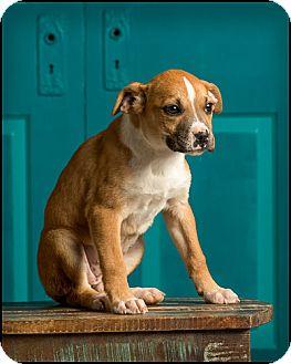 Boxer Mix Puppy for adoption in Owensboro, Kentucky - Louise