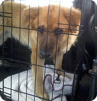 Chow Chow Mix Dog for adoption in Mira Loma, California - Dale