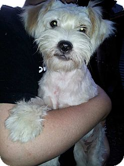 Terrier (Unknown Type, Small) Mix Dog for adoption in Burbank, California - Munchies LOVES DOGS CATS KIDS