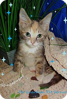 Domestic Shorthair Kitten for adoption in Virginia Beach, Virginia - Falon