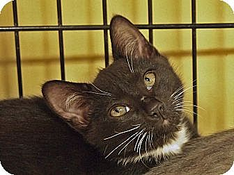 Domestic Shorthair Kitten for adoption in Ocean City, New Jersey - Pipa