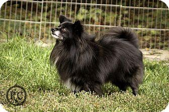 Pomeranian Mix Dog for adoption in Victor, Montana - Buddy