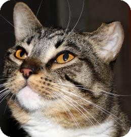 Domestic Shorthair Cat for adoption in Brooklyn, New York - Parker