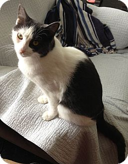 Domestic Shorthair Cat for adoption in Rochester, New York - Caffery