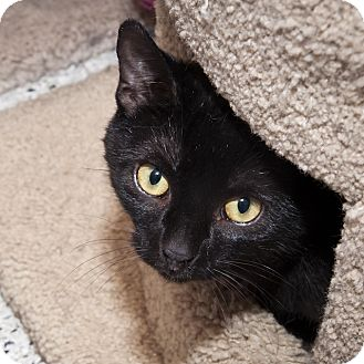 Domestic Shorthair Cat for adoption in Toronto, Ontario - Fit