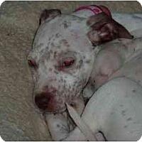 Adopt A Pet :: Caroline - Raleigh, NC