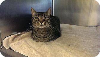 Domestic Shorthair Cat for adoption in Sewaren, New Jersey - Cliff
