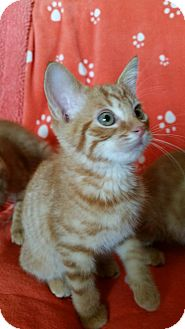 Domestic Shorthair Kitten for adoption in Marietta, Georgia - Fred