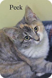 Domestic Shorthair Kitten for adoption in West Des Moines, Iowa - Peek