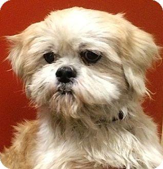 Shih Tzu Dog for adoption in Oswego, Illinois - Derby