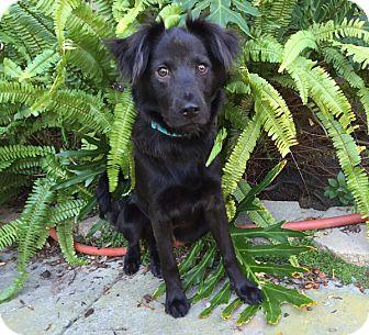 Border Collie/Spaniel (Unknown Type) Mix Dog for adoption in Irvine, California - SPYRO