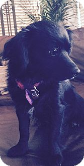 Pomeranian/Chihuahua Mix Dog for adoption in Edmond, Oklahoma - Perdita (Adoption Pending)