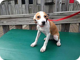 Terrier (Unknown Type, Medium) Mix Puppy for adoption in Freeport, New York - Simon