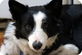 Border Collie Dog for adoption in San Pedro, California - BUTTON