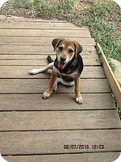 Flat-Coated Retriever/Beagle Mix Puppy for adoption in Rutherfordton, North Carolina - Calypso
