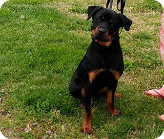 Rottweiler Puppy for adoption in Haggerstown, Maryland - Diesel