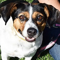 Beagle/Spaniel (Unknown Type) Mix Dog for adoption in Huntley, Illinois - Dolly