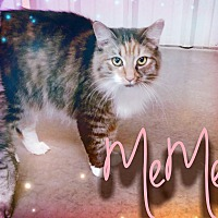 Calico Cat for adoption in Odessa, Texas - Meme