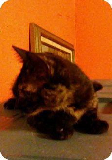 Domestic Shorthair Kitten for adoption in Danbury, Connecticut - Autumn