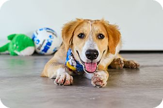 Retriever (Unknown Type) Mix Dog for adoption in Vancouver, British Columbia - Rio