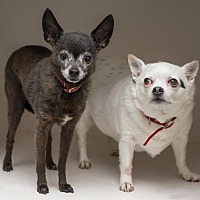 Chihuahua Mix Dog for adoption in Westfield, New York - Daisy and Chico