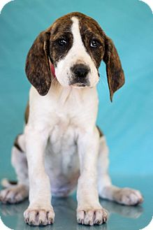 Hound (Unknown Type) Mix Puppy for adoption in Waldorf, Maryland - Belle