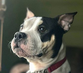 Staffordshire Bull Terrier Mix Dog for adoption in Ridgewood, New Jersey - VIOLET