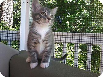 Domestic Shorthair Kitten for adoption in Arlington, Virginia - Gilligan -Adoption Pending