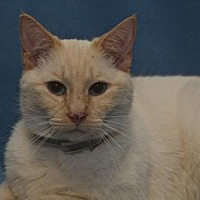 Siamese Cat for adoption in Sanford, Florida - Melvin The Flame Point